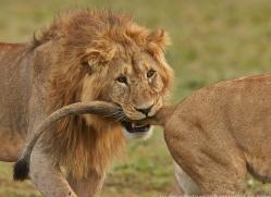 Lion 2014-5copyright-photographers-on-safari-com