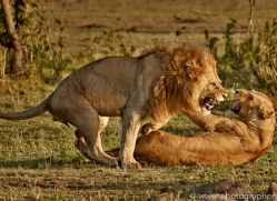 Lion 2014-9copyright-photographers-on-safari-com
