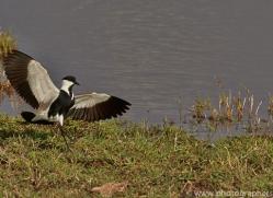 Plover 2014-1copyright-photographers-on-safari-com