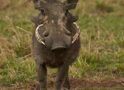 Wart Hog 2014-1copyright-photographers-on-safari-com
