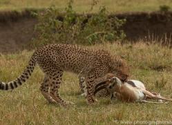 cheetah-copyright-photographers-on-safari-com-7938