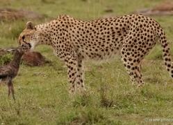 cheetah-masai-mara-1524-copyright-photographers-on-safari-com