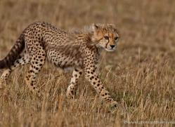 cheetah-masai-mara-1531-copyright-photographers-on-safari-com