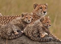 cheetah-masai-mara-1533-copyright-photographers-on-safari-com