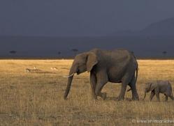 elephant-masai-mara-1635-copyright-photographers-on-safari-com