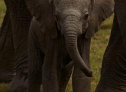 elephant-masai-mara-1636-copyright-photographers-on-safari-com