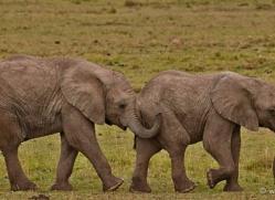 elephant-masai-mara-1637-copyright-photographers-on-safari-com