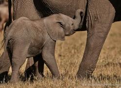 elephant-masai-mara-1643-copyright-photographers-on-safari-com