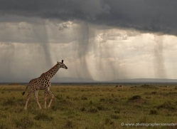 giraffe-masai-mara-1663-copyright-photographers-on-safari-com
