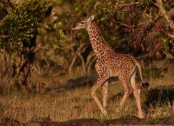 giraffe-masai-mara-1666-copyright-photographers-on-safari-com