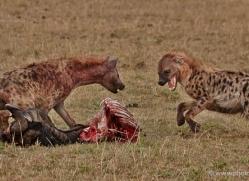 hyaena-masai-mara-1661-copyright-photographers-on-safari-com
