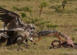 jackal-masai-mara-1708-copyright-photographers-on-safari-com
