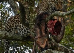 leopard-masai-mara-1598-copyright-photographers-on-safari-com