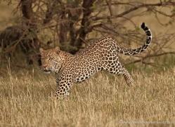 leopard-masai-mara-1602-copyright-photographers-on-safari-com