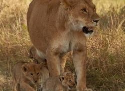 lion-copyright-photographers-on-safari-com-7958