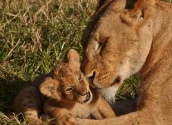 lion-cubs-masai-mara-1587-copyright-photographers-on-safari-com