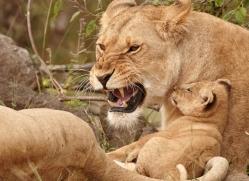 lion-cubs-masai-mara-1588-copyright-photographers-on-safari-com