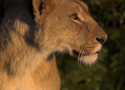 lion-masai-mara-1539-copyright-photographers-on-safari-com