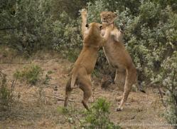 lion-masai-mara-1540-copyright-photographers-on-safari-com