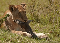 lion-masai-mara-1544-copyright-photographers-on-safari-com