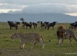 lion-masai-mara-1545-copyright-photographers-on-safari-com