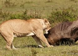 lion-masai-mara-1548-copyright-photographers-on-safari-com