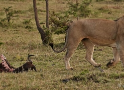 lion-masai-mara-1554-copyright-photographers-on-safari-com
