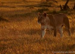 lion-masai-mara-1561-copyright-photographers-on-safari-com