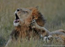lion-masai-mara-1562-copyright-photographers-on-safari-com