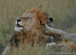 lion-masai-mara-1563-copyright-photographers-on-safari-com
