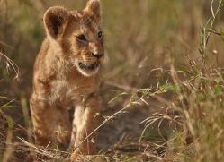 lion-masai-mara-1566-copyright-photographers-on-safari-com