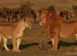 lion-masai-mara-1570-copyright-photographers-on-safari-com