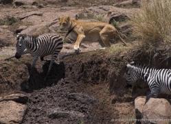 lion-masai-mara-1573-copyright-photographers-on-safari-com