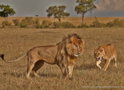 lion-masai-mara-1574-copyright-photographers-on-safari-com