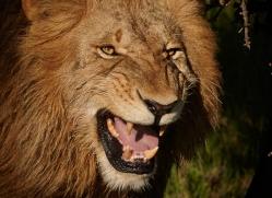 lion-masai-mara-1575-copyright-photographers-on-safari-com