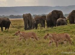 lion-masai-mara-1702-copyright-photographers-on-safari-com
