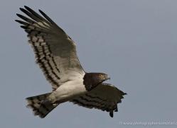 martial-eagle-masai-mara-1676-copyright-photographers-on-safari-com