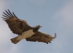 martial-eagle-masai-mara-1677-copyright-photographers-on-safari-com