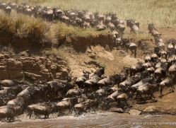 migration-river-crossings-masai-mara-1606-copyright-photographers-on-safari-com