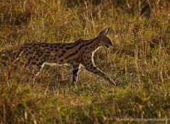 serval-masai-mara-1671-copyright-photographers-on-safari-com
