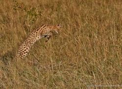 serval-masai-mara-1673-copyright-photographers-on-safari-com