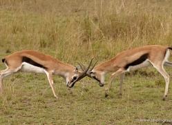 thomsons-gazelle-masai-mara-1698-copyright-photographers-on-safari-com
