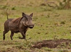 wart-hog-masai-mara-1701-copyright-photographers-on-safari-com