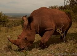 white-rhino-masai-mara-1649-copyright-photographers-on-safari-com