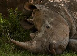 white-rhino-masai-mara-1650-copyright-photographers-on-safari-com