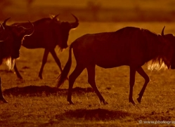 wildebeest-masai-mara-1634-copyright-photographers-on-safari-com