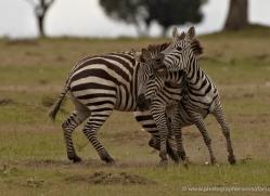 zebra-masai-mara-1630-copyright-photographers-on-safari-com