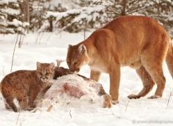 puma-cub-mountain-lion-cub-3737-montana-copyright-photographers-on-safari-com