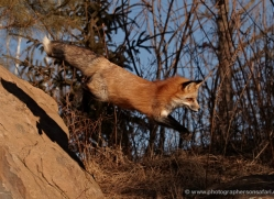 red-fox3826-montana-copyright-photographers-on-safari-com