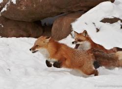 red-fox3838-montana-copyright-photographers-on-safari-com